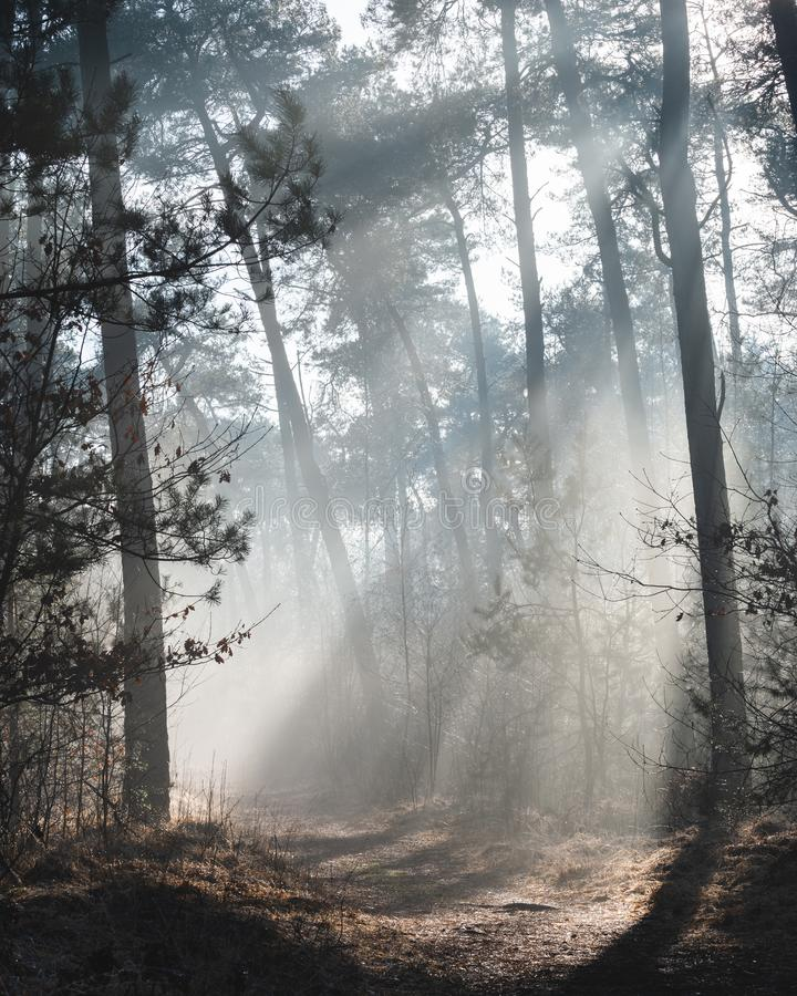 Красивый sunlit след леса на туманном утре с лучами солнца освещая вверх по полу леса стоковая фотография rf