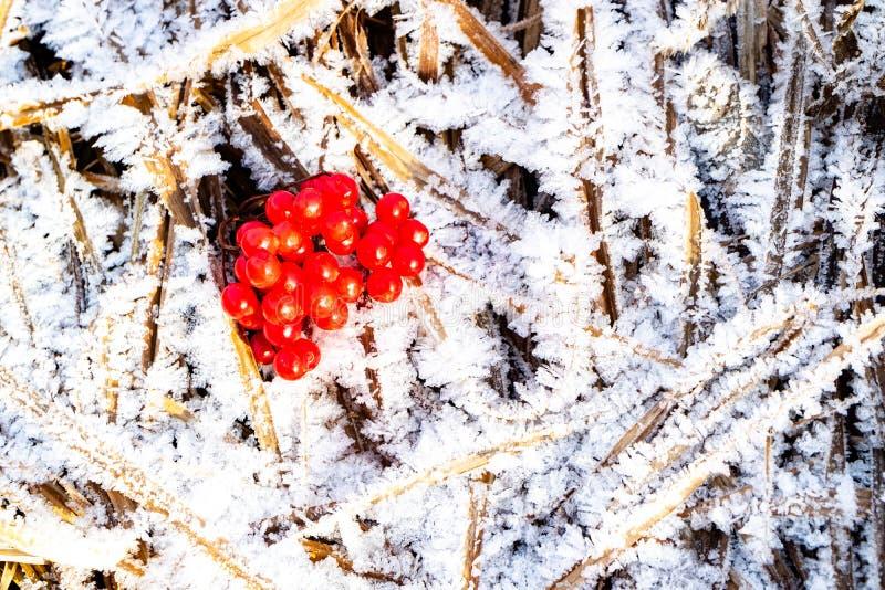 Красная калина на замороженной сухой траве, холод ягод елей стоковые фотографии rf
