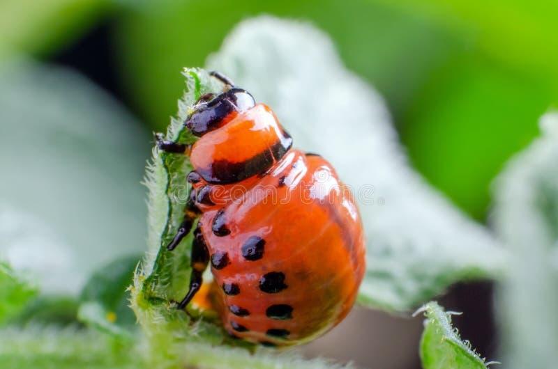 Красная личинка жука картошки Колорадо ест листья картошки стоковое изображение rf