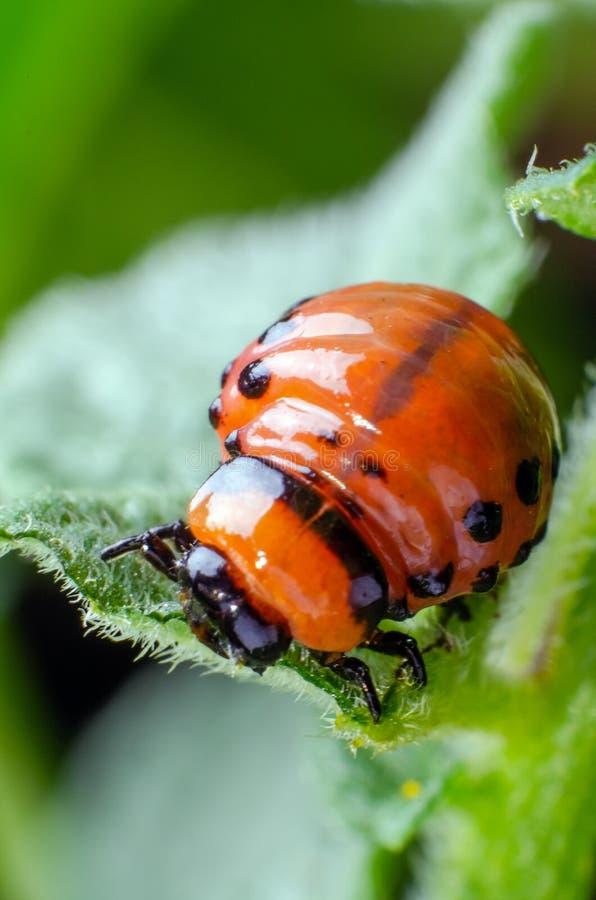Красная личинка жука картошки Колорадо ест листья картошки стоковые фото