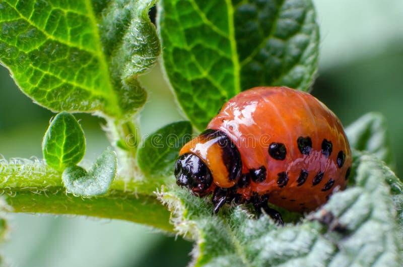 Красная личинка жука картошки Колорадо ест листья картошки стоковая фотография