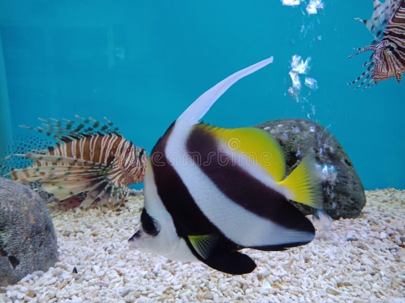 Красные крылатка-зебра, volitans Pterois, coralfish Scorpaenidae и вымпела, bannerfish Longfin, стоковое изображение rf