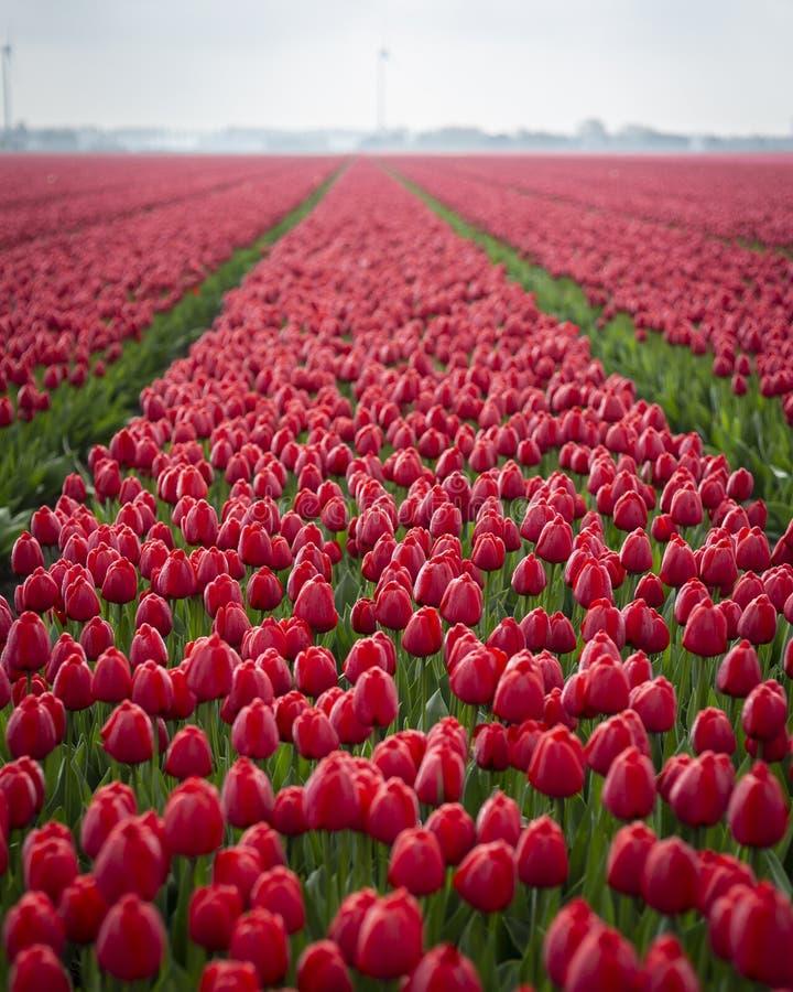 Красные тюльпаны в поле сияющем от солнца и росы стоковые изображения