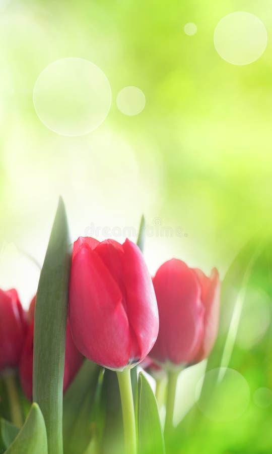 Красные тюльпаны на весеннем времени стоковое фото rf