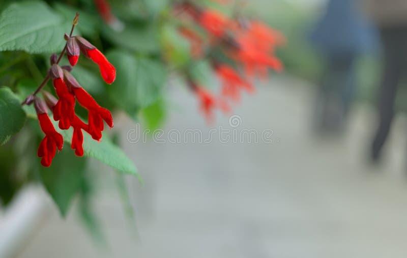 Красные цветки gesneriiflora gesneriflora Salvia стоковое фото rf