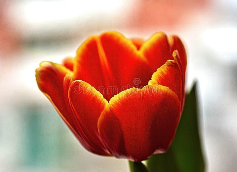 Красный бутон тюльпана Макрос Россия, Москва Подарок на день рождения стоковое фото rf