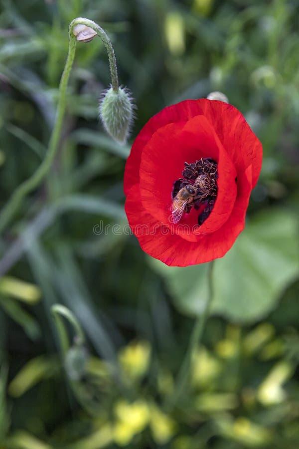 Красный бутон цветка мака и главный конец вверх пчела собирая цветень стоковые фотографии rf