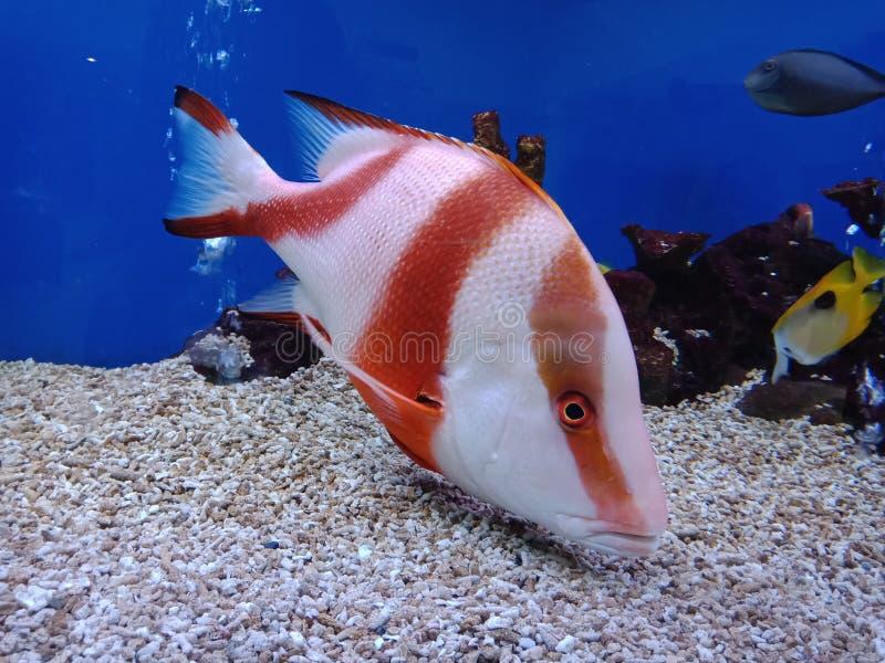 Красный люциан, бас ‹â€ ‹â€ моря, красное лицо стоковые изображения rf
