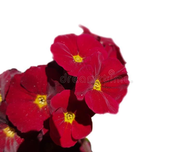 Красный первоцвет цветка бархата на белой предпосылке стоковая фотография rf
