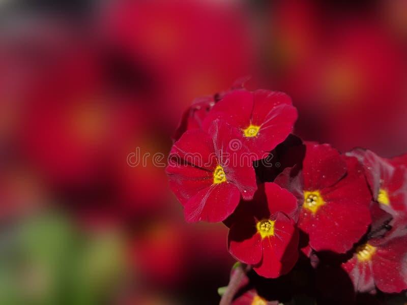 Красный первоцвет цветка бархата на запачканной предпосылке стоковое фото rf