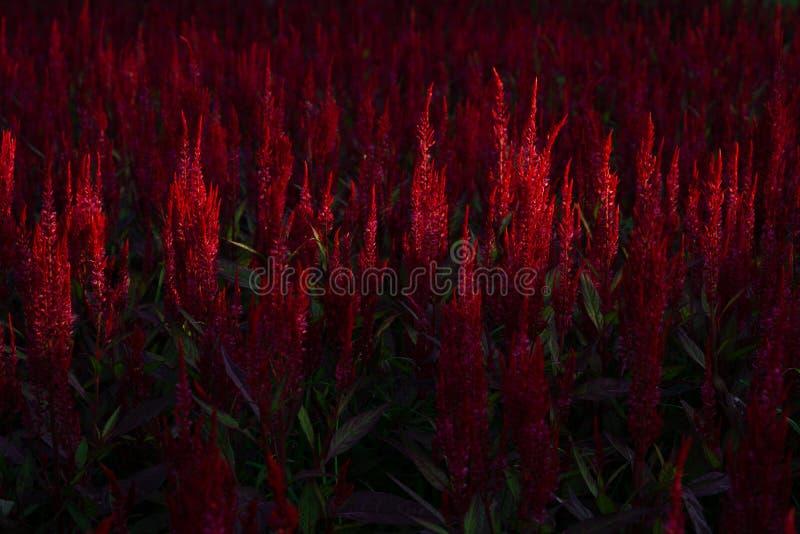 Красный цветок Cockscomb или китайские цветки шерстей, красивый цветок зацветая в саде в утреннем времени с солнечностью стоковое изображение rf