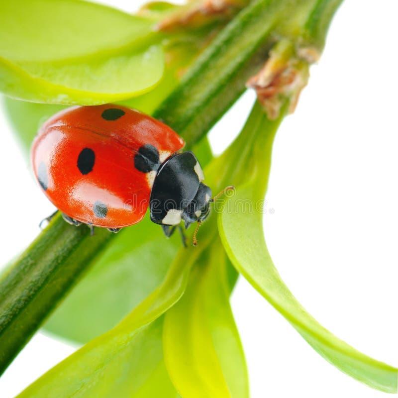Красный ladybug на зеленых лист в траве изолированной на белой предпосылке, конец-вверх стоковые изображения rf