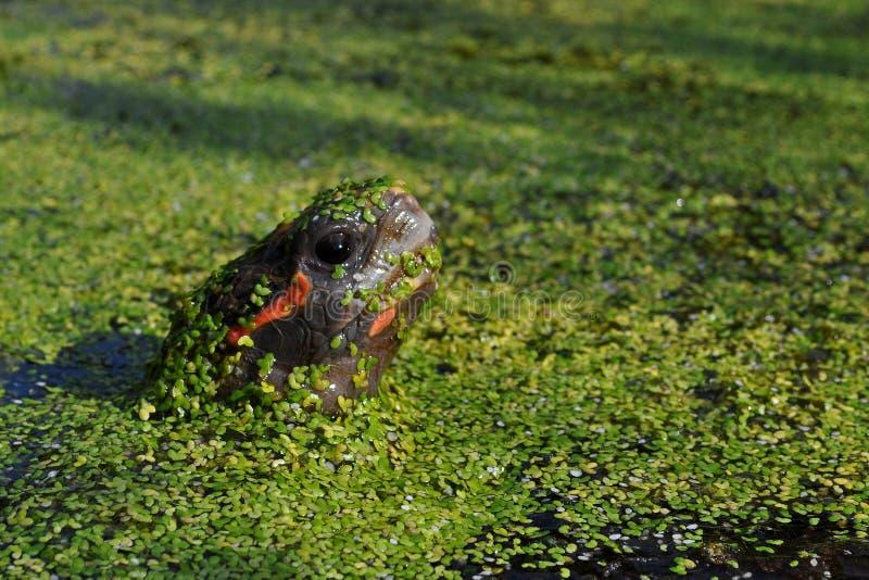 Красное footed carbonaria Chelonoidis черепахи стоковые изображения