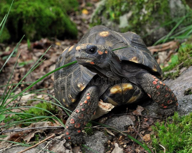 Красное footed carbonaria Chelonoidis черепахи стоковое фото
