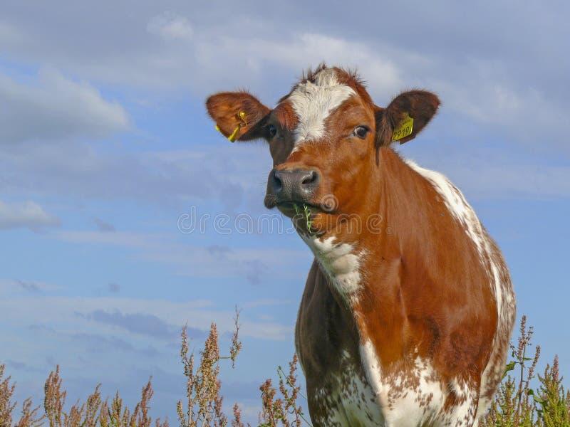Красно-запятнанная корова с травинками в ее стойках рта среди цветя дикого щавеля стоковые фотографии rf