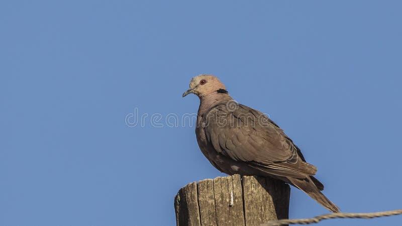 Красно-наблюданный голубь на деревянном столбе стоковая фотография