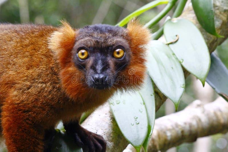 Крест между черным macaco Eulemur лемура и увенчанным coronatus Eulemur лемура стоковые изображения