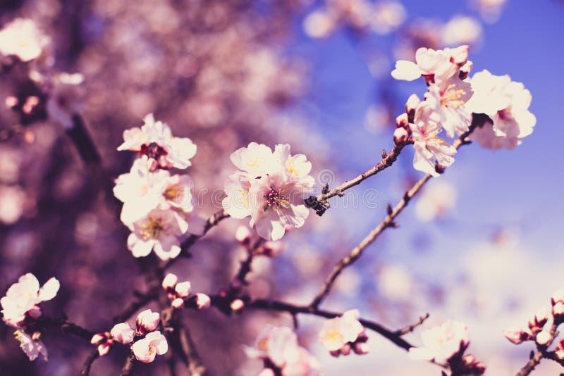 Крупный план больших розовых цветков на ветви миндалины против голубого неба на солнечный весенний день стоковое фото rf