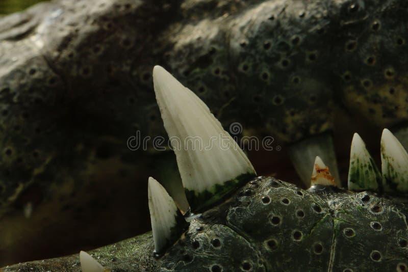 Крупный план зубов крокодила стоковое изображение rf