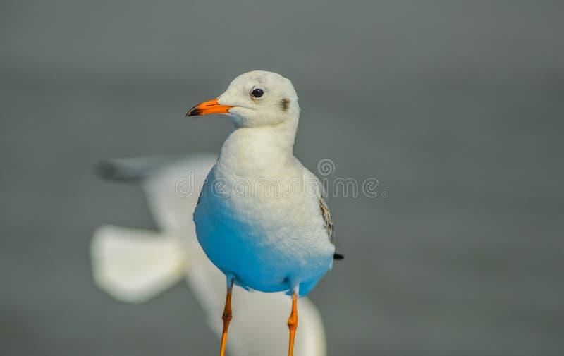 Крупный план красивой белой чайки садить на насест на шлюпке в Аравийском море около гавани Мумбай стоковые изображения rf