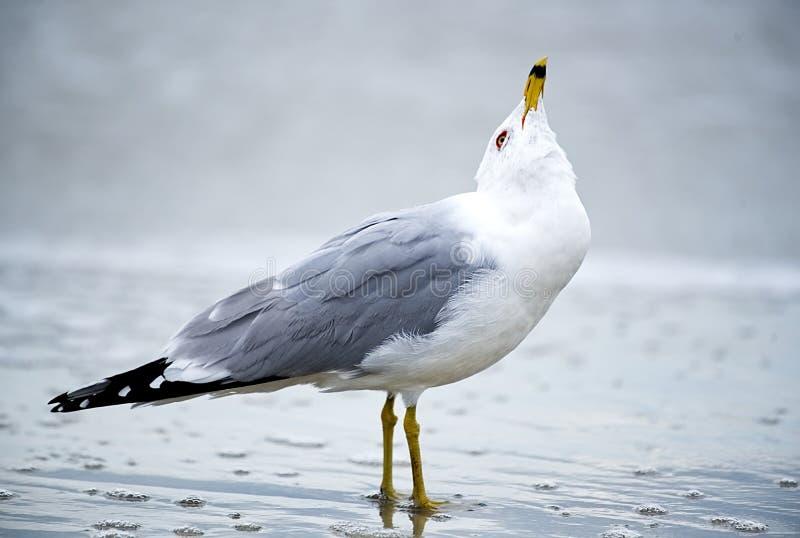 Крупный план чайки в прибое стоковая фотография