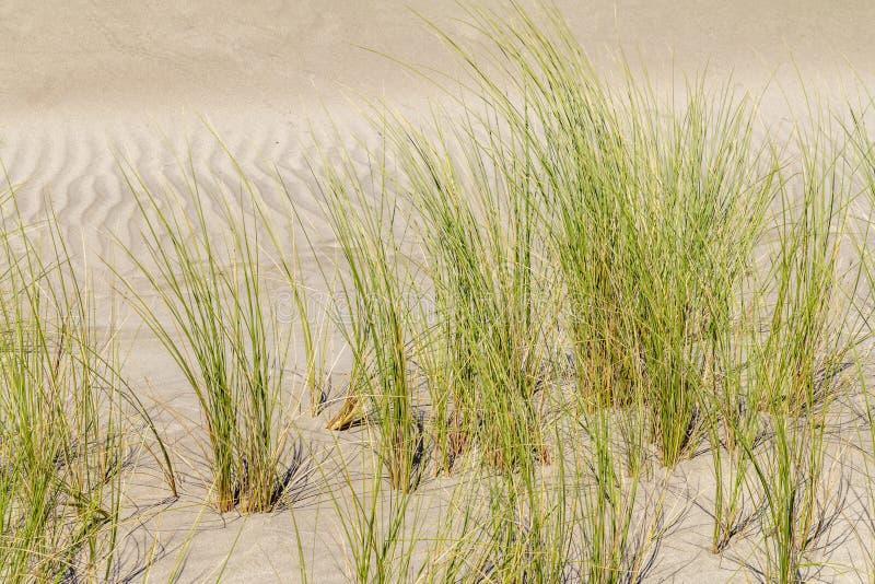 Крупный план растительности Beachgrass стоковые фотографии rf