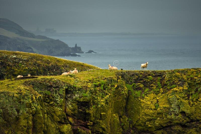 Крутые скалы со спокойными овцами на впечатляющем побережье на голове St Abbs в Шотландии стоковая фотография
