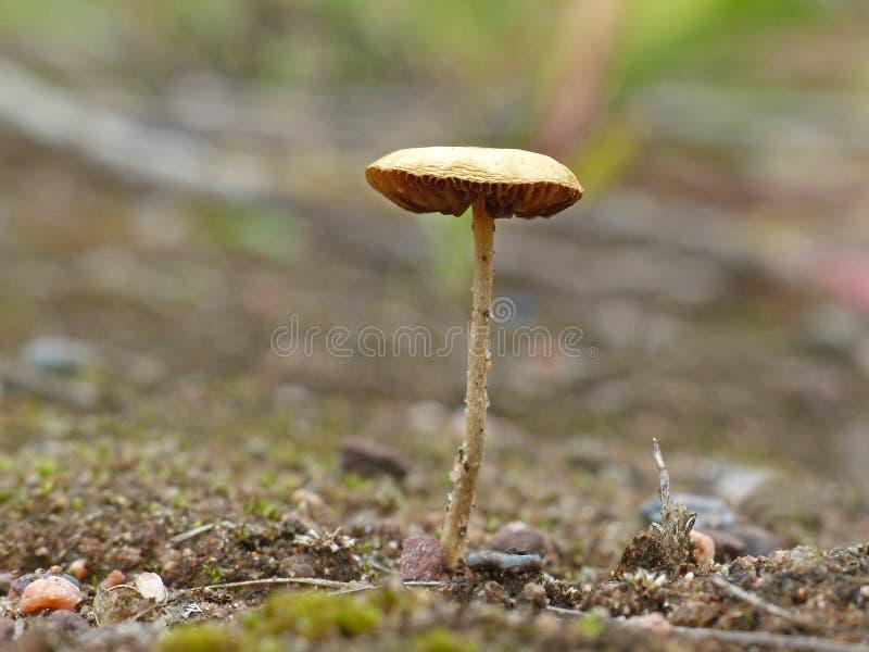 Крошечный гриб Tan на песке 2 стоковая фотография rf