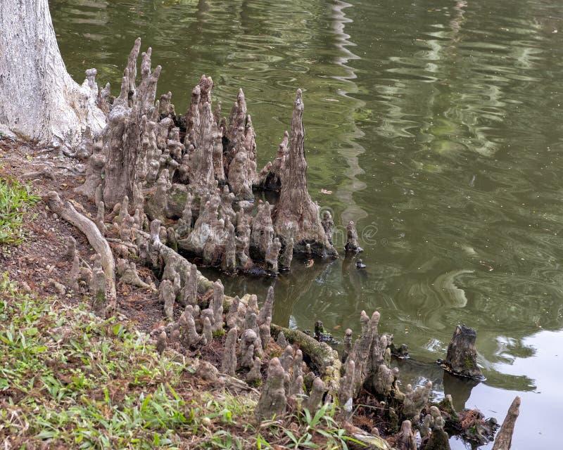 Колени лысого Cypress на крае пруда карпа Хо Ши Мин, Ханоя, Вьетнама стоковые фотографии rf