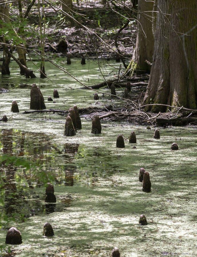 Колени Cypress в болоте стоковые изображения rf