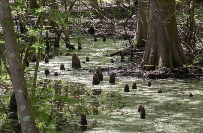 Колени Cypress в болоте стоковые фотографии rf