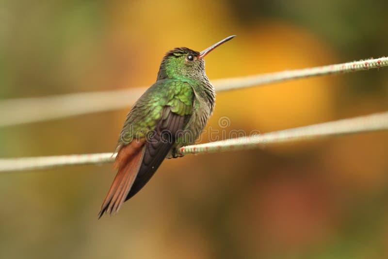 Колибри, Коста-Рика стоковое изображение rf