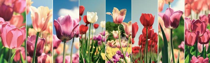 Коллаж красочных тюльпанов в саде стоковая фотография rf