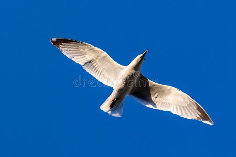 Кольц-представленные счет крылья летания delawarensis Larus чайки распространенные на предпосылке голубого неба от позади стоковое фото