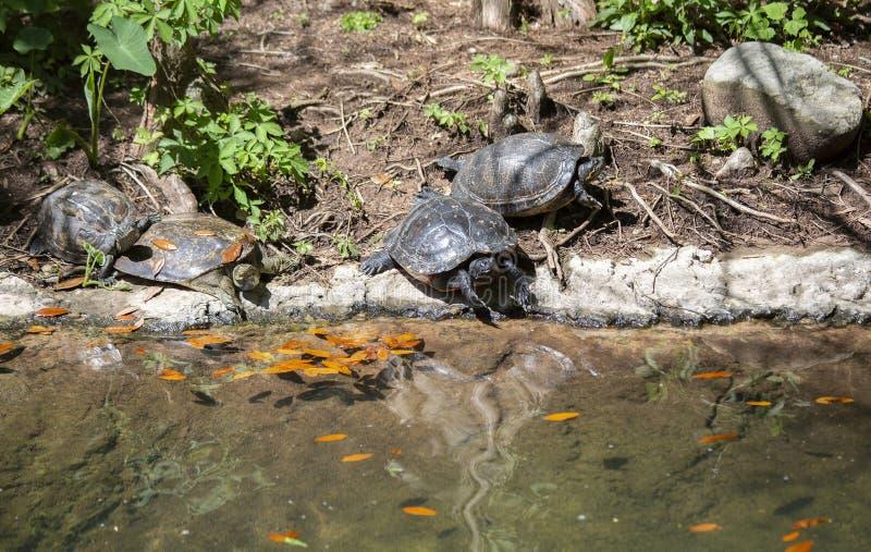 Колючая черепаха Мягк-раковины и покрашенная черепаха стоковые фото