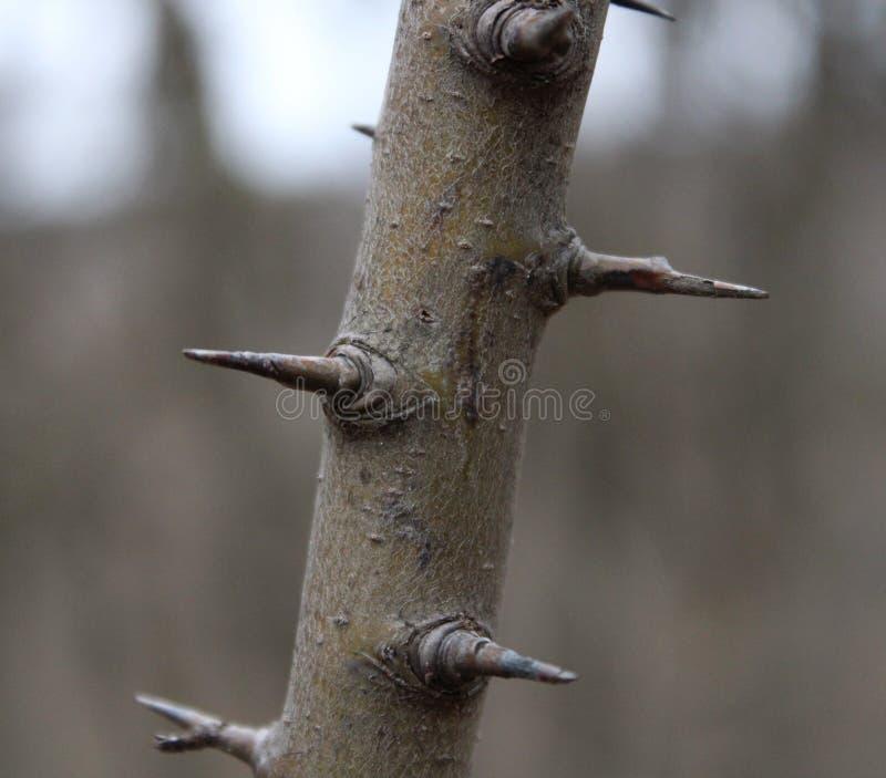 Колючки на дереве стоковые изображения rf