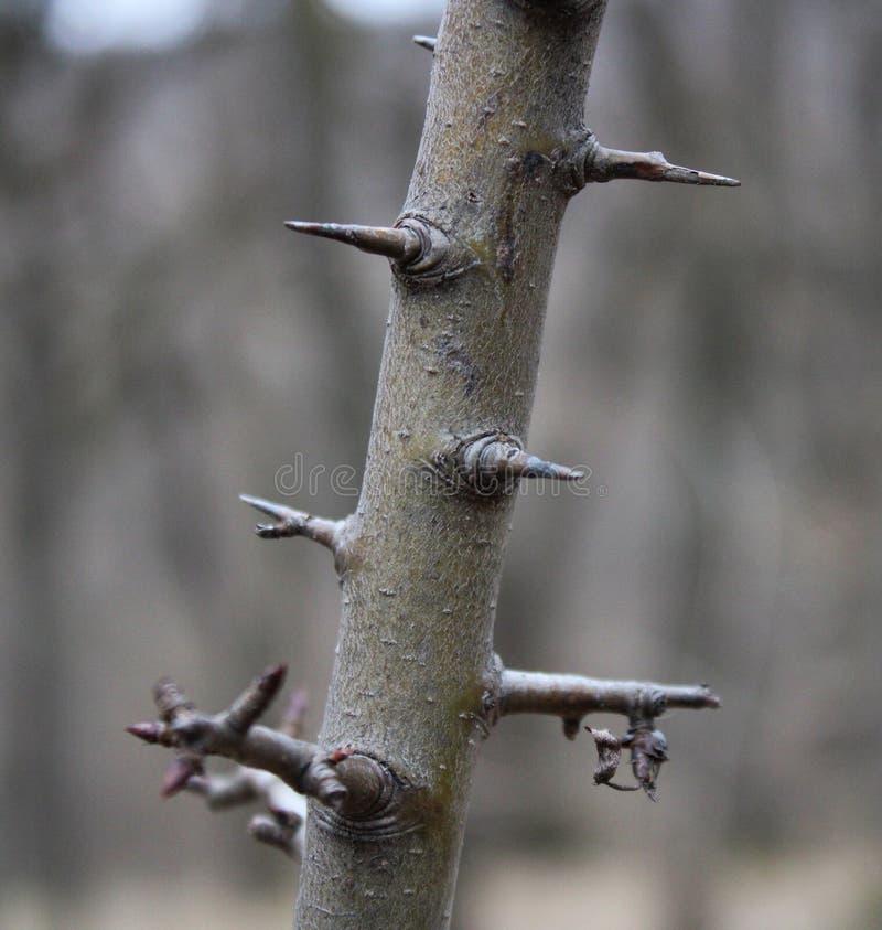Колючки на дереве стоковое фото rf