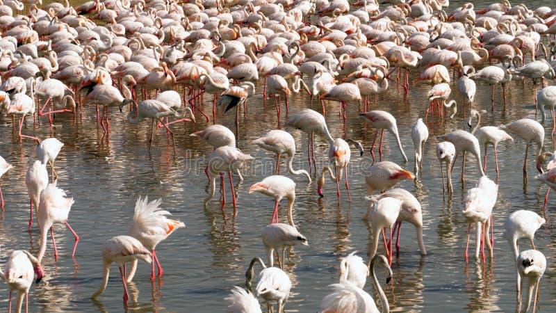 Колония фламинго на озере стоковое фото