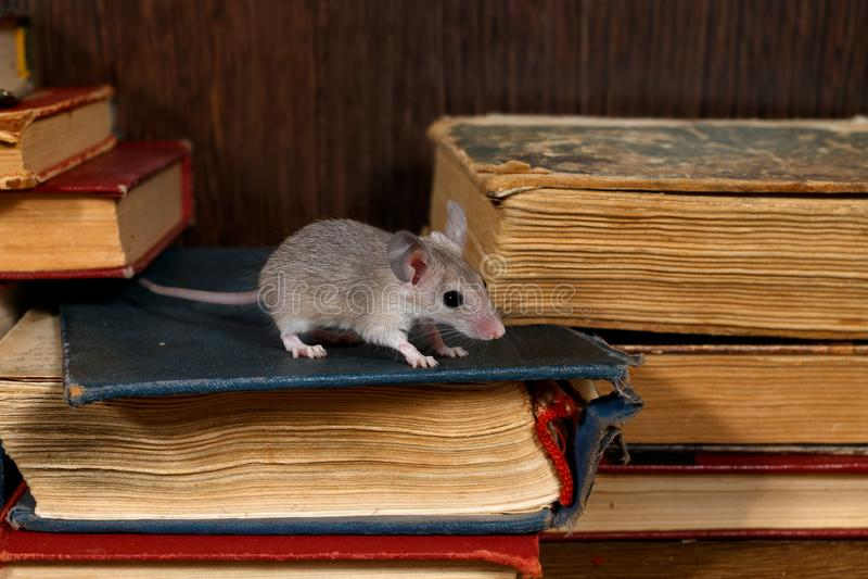 Конец-вверх молодая серая мышь стоит на куче старых книг в библиотеке стоковые фото