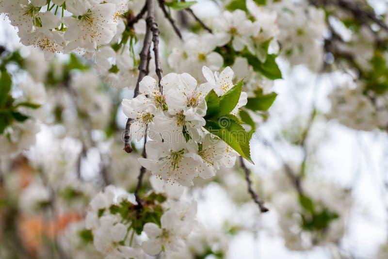 Конец вверх по дереву цветения chery стоковая фотография rf