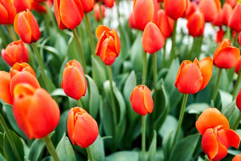Конец-вверх тюльпанов стоя чистосердечный во время времени весны в Южной Корее стоковые изображения