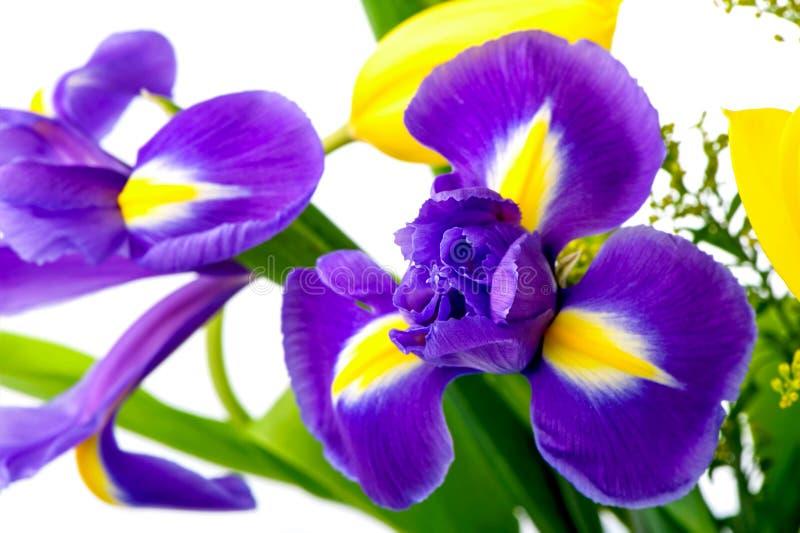 Конец-вверх цветка радужки с желтыми тюльпанами на белой предпосылке стоковые изображения rf