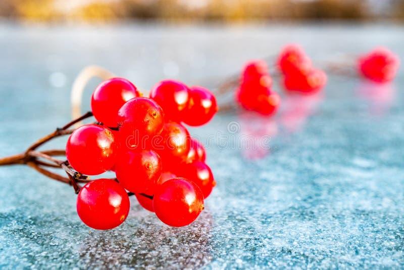Конец-вверх sprig красного цвета калины на льде стоковые фото