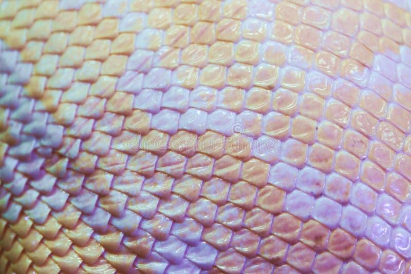 Конец предпосылки текстуры кожи змейки питона альбиноса вверх стоковые изображения