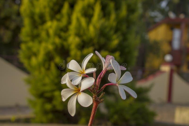 Конец plumeria frangipani цветков пинка белый тропический вверх на запачканной предпосылке древесной зелени и дома стоковые изображения rf