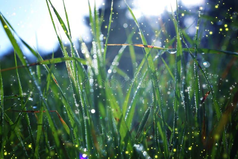 Конспект и волшебное изображение светляка летая в траву на времени сумерек Концепция сказки стоковое фото