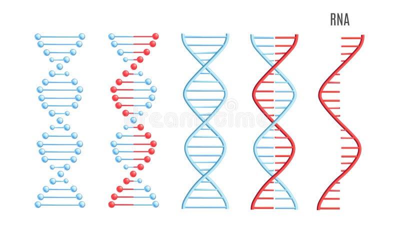 Код спирали винтовой линии молекулы РИБОНУКЛЕИНОВОЙ КИСЛОТЫ ДНК вектора генетический иллюстрация штока