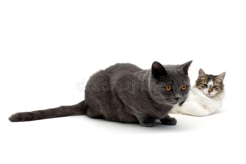 2 кота лежа на белой предпосылке стоковые изображения