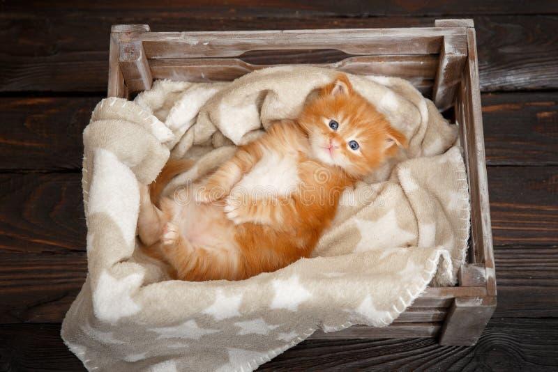 Котенок енота Мейна красный лежа в деревянной коробке стоковая фотография rf