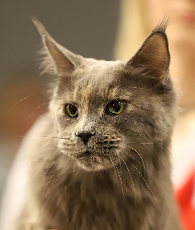 Кот, красивый портрет чистоплеменного кота стоковое фото